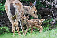 Columbian black-tailed deer (Odocoileus hemionus columbianus) doe and young fawn. Fawn is hoping to nurse.  Pacific Northwest.  Summer.
