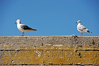 Couple of Seagulls on a wall, South Africa