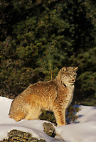 657146011 a captive canadian lynx felis lynx relaxes in a snowbank in central montana this species is endangered in the wild