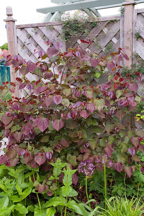 Cercis canadensis Forest Pansy redbud in May