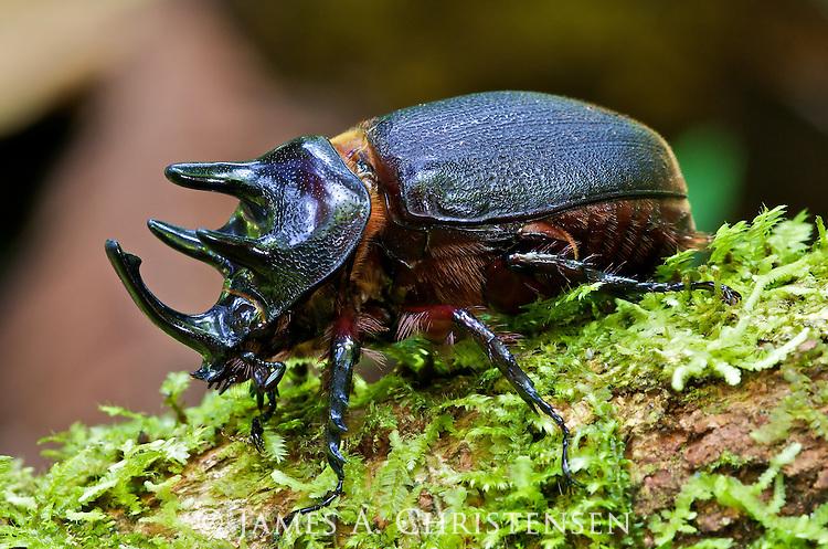 Male scarab beetle, Heterogomphus mniszechi, Mindo, west slope of Andes, Ecuador