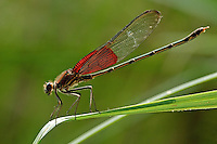 The American rubyspot is without doubt one of the most beautiful insects extant.