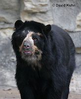 0906-0812  Spectacled Bear, Andean Bear, Tremarctos ornatus  © David Kuhn/Dwight Kuhn Photography.