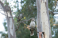 A laughing kookaburra and a Noisy Miner bird perch together in a eucalyptus tree near Adelaide, South Australia.