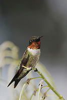 Ruby-throated Hummingbird, Archilochus colubris, male perched, Willacy County, Rio Grande Valley, Texas, USA, May 2006