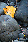 Bigleaf maple leaf, Wilson river, Tillamook State Forest, Oregon