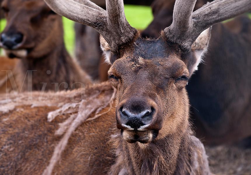 Buck deer, Alaska