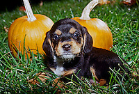 Cute Beagle puppy, Canis familiaris, laying in grass with two pumpkins