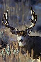 Heavy antlered Mule Deer buck (Odocoileus hemionus).  Western U.S., late fall.