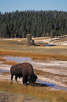 Bison grazing in Yellowstone National Park. Near Old Faithful. Yellowstone National Park Wyoming USA.
