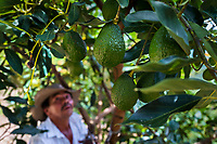 A Colombian farm worker inspects avocado fruits on a tree during a harvest at a plantation near Sonsón, Antioquia department, Colombia, 21 November 2019. Over the past decade, the Colombian avocado industry has experienced massive growth, both as a result of general economic development in Colombia, and the increased global demand for so-called superfood products. The geographical and climate conditions in Antioquia (high altitude, no seasonal extremes, high precipitation rate) allow two harvest windows of the Hass avocado variety across the year. Although the majority of the Colombian avocado exports are destined towards Europe now, Colombia aspires to become one of the major avocado suppliers to the U.S. market in the near future.