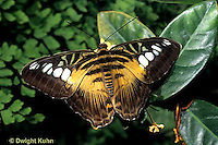 LE45-006a  Butterfly - Philippino Golden Clipper from SE Asia - Parthenos sylvia