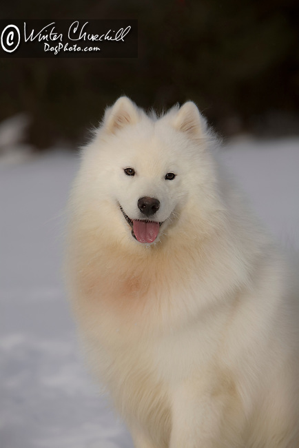 Samoyed posed in the snow Shopping cart has 3 Tabs:<br /> <br /> 1) Rights-Managed downloads for Commercial Use<br /> <br /> 2) Print sizes from wallet to 20x30<br /> <br /> 3) Merchandise items like T-shirts and refrigerator magnets
