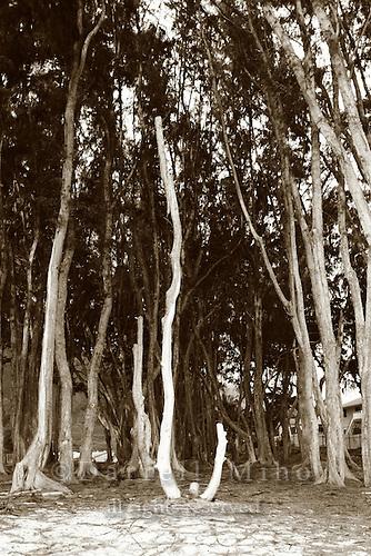 "Feb 25, 2007; O'ahu, HI - ""Sherwood Forest"" at Waimanalo Beach..Photo credit: Darrell Miho"