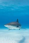 Tiger Beach, Grand Bahama Island, Bahamas; a Caribbean Reef Shark swimming over the sandy bottom at Tiger Beach