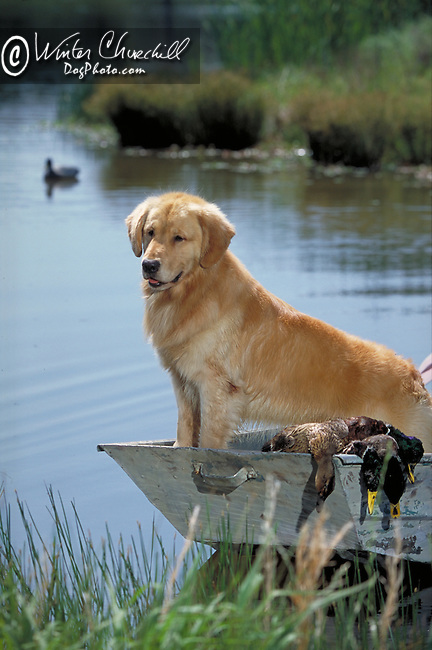 Golden Retriever<br />