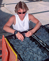 volunteer sorts Kemp's ridley sea turtle hatchlings, Lepidochelys kempii, for immediate release or extended care, Rancho Nuevo, Mexico, Gulf of Mexico, Caribbean Sea, Atlantic Ocean