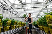 GERMANY, Berlin, combined Basil and Tilapia fish farm of start up ECF, the fish farm is combined with green houses to cultivate vegetables irrigated with sewage water from the fish ponds , the system is called aquaponic, greenhouse with basil plants / DEUTSCHLAND, Berlin, Tilapia Fischfarm des start-up Unternehmens ECF auf dem gelaende der ehemaligen Schultheiss Malzfabrik, mit dem naehrstoffhaltigem Abwasser der Fischtanks wird Basilikum im Gewaechshaus bewaessert, Aquaponic System, als Hauptstadt Barsch werden Fisch und Basilikum in Berlin ueber Rewe und Metro lokal vermarket,  Gewaechshaus mit Basilikum Topfpflanzen