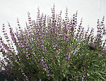 Cat mint plant in flower against white wall