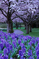 Cathedral-like canopy of branches bearing pink cherry blossoms, over path in Spring, with hyacinths in foreground, twilight in Stanley Park, Vancouver, BC.