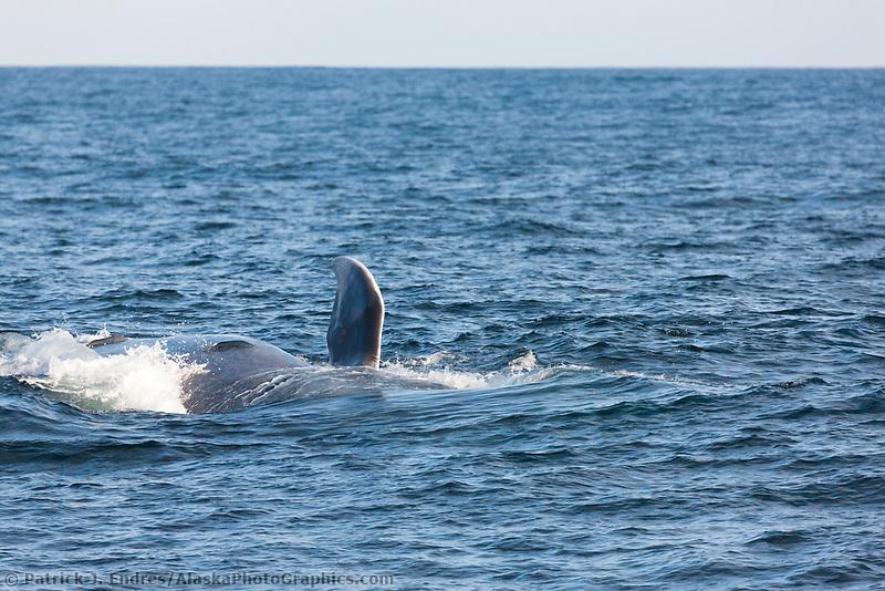 Blue whale, Galapagos Islands, Ecuador