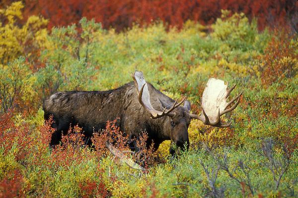 MM58  Bull Moose grazing in willows.  Alaska.  Fall.