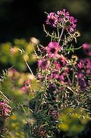 Europe/Provence-Alpes-Côte d'Azur/83/Var/Rayol-Canadel-sur-Mer: Détail de la végétation au col du Canadel