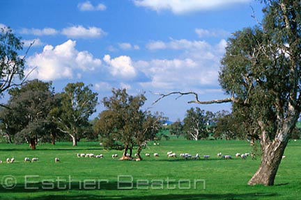 Sheep grazing in paddock with remaining box trees, Holbrook area, NSW