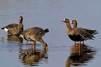 537260001 wild  greater white-fronted geese anser albifrons at colusa national wildlife refuge califonia