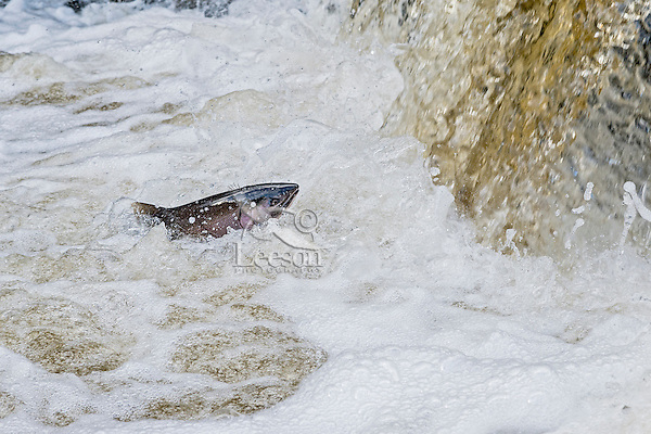 Coho or silver salmon (Oncorhynchus kisutch) checking out falls on river during spawning migration.  Many fish seemed to look before they attempted to jump over falls.  Pacific Northwest.  October.  Wild fish not hatchery fish.