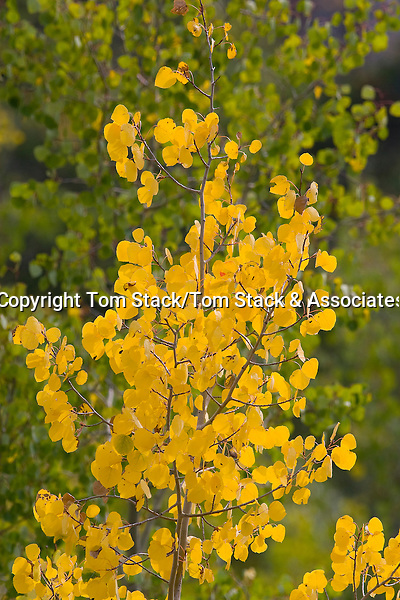 Aspen leaves in the Medicine Bow Mountains of Wyoming