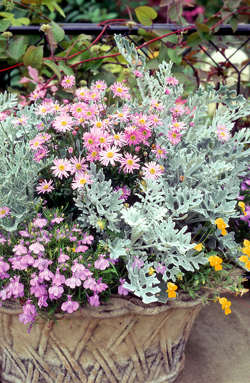 Dusty Miller Lobelia Chrysanthemum Viola Flowers In Pretty Container Plant Flower Stock