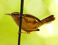 Carolina wren. This bird watching me closely since nest nearby in hanging basket on our back porch. These wrens nest there each year.