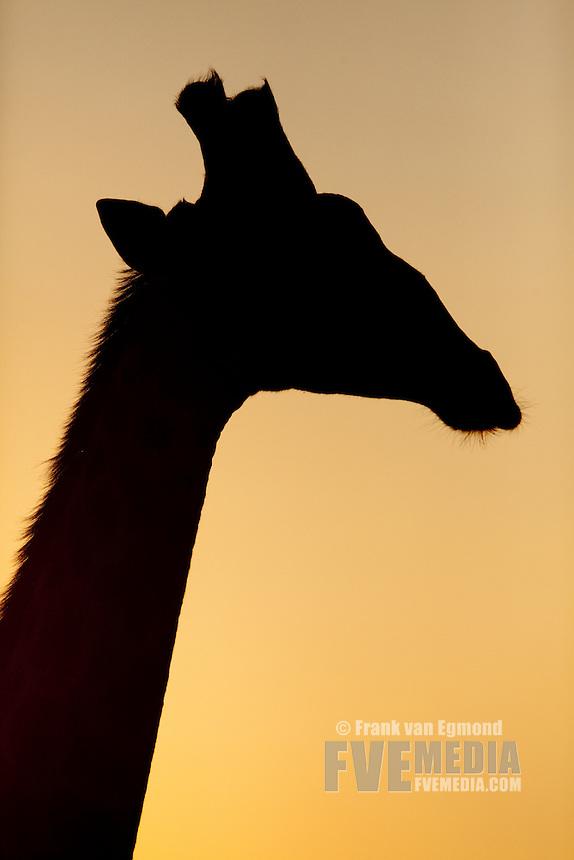 Giraffe (Giraffa Camelopardalis)..Silhouette, side profile...Hluhluwe Imfolozi Game Reserve..Kwazulu-Natal, South Africa..November 2010.