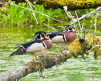 Pair of Wood Ducks standing on moss covered log in the Ridgefield National Wildlife Reserve