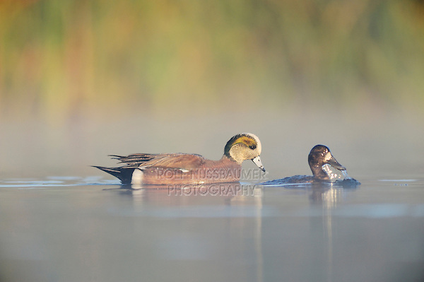 American Wigeon (Anas americana), male swimming next to diving Lesser Scaup (Athya affinis), Dinero, Lake Corpus Christi, South Texas, USA