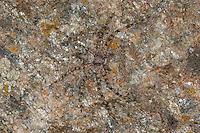 Laufspinne, Flachstrecker, Philodromus margaritatus, Tarnung, durch Zeichnung und Färbung perfekt auf dem Untergrund getarnt, philodromid crab spider, Laufspinnen, Philodromidae, philodromid crab spiders