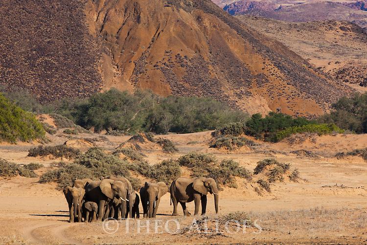 Namibia;  Namib Desert, Skeleton Coast, Huab River, desert elephant (Loxodonta africana) herd walking up hill towards waterhole