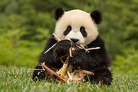 10 month old giant panda cub playing with bamboo shoot.   (Ailuropoda melanoleuca)  China Conservation and Research Center for the Giant Panda,  Wolong Nature Reserve