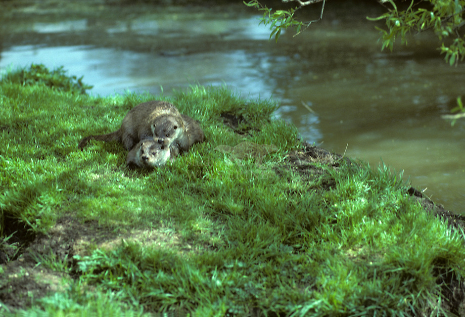 Otter (Lutra lutra), parend