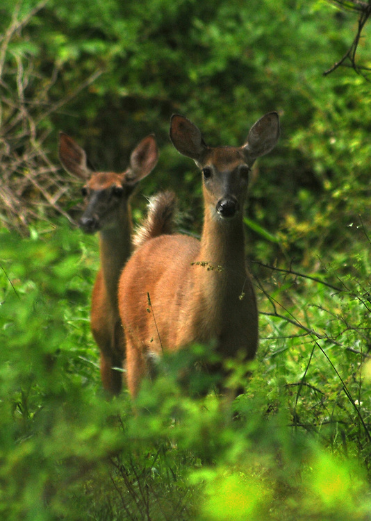 """Deer encountered during the Esopus Creek Conservancy and John Burroughs Natural History Society co-sponsored, """"Breeding Birds and Butterfles Walk- led by Steve Chorvas, in the Esopus Bend Nature Preserve in Saugerties, NY, on Saturday, June 17, 2017. Photo by Jim Peppler. Copyright/Jim Peppler-2017."""