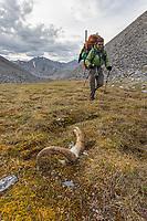 Dall sheep horns in the Arctic National Wildlife Refuge, Brooks Range, Arctic Alaska.