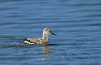 Säbelschnäbler, Küken, Recurvirostra avosetta, avocet