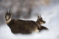 30.10.2008.Chamois (Rupicapra rupicapra).Gran Paradiso National Park, Italy