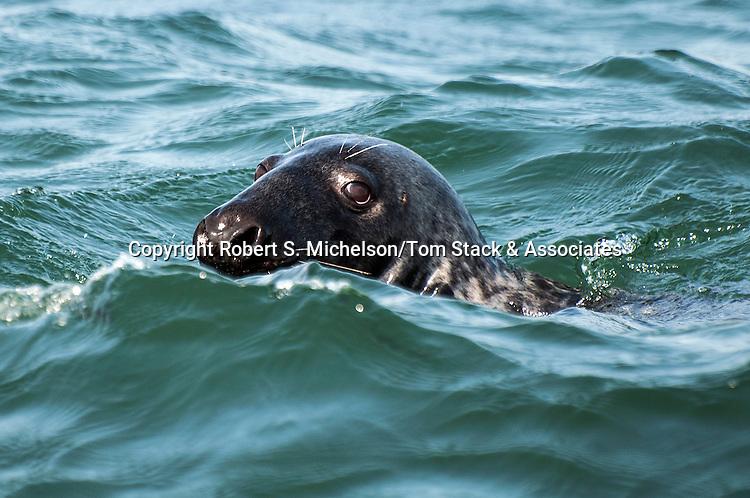 gray seal swimming at surface looking at camera