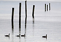 Candadian Geese swimming on calm water by marina pilings at the Silverdale, WA harbor