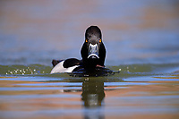 Ring-necked Duck (Aythya collaris), male swimming in a pond at Papago Park in Phoenix, Arizona.