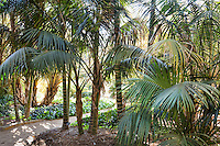 Path through grove of Kentia palm trees in Lotusland garden; aka Thatch Palm, Sentry Palm, Paradise Palm (Howea forsteriana)
