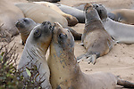 elephant seal bulls play fight during molting season
