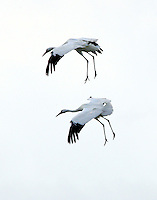 Two whooping cranes landing